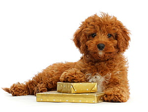 RF - Red Cavapoo puppy with wrapped presents.  (This image may be licensed either as rights managed or royalty free.)  -  Mark Taylor