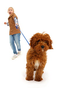 RF - Girl walking Red Cavapoo pup, who is straining at the leash.  Model released.(This image may be licensed either as rights managed or royalty free.)  -  Mark Taylor