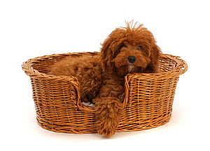 RF - Red Cavapoo puppy in a wicker basket.  (This image may be licensed either as rights managed or royalty free.)  -  Mark Taylor