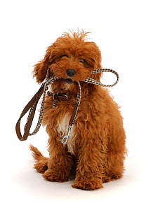 RF - Red Cavapoo puppy holding a leash ready for a walk.  (This image may be licensed either as rights managed or royalty free.)  -  Mark Taylor