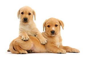 RF -  Yellow Labrador Retriever puppies, age 8 weeks sitting together.  (This image may be licensed either as rights managed or royalty free.)  -  Mark Taylor