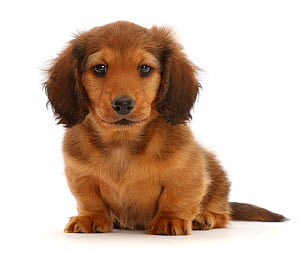 RF - Cream shaded Dachshund puppy, age 7 weeks, sitting.  (This image may be licensed either as rights managed or royalty free.)  -  Mark Taylor