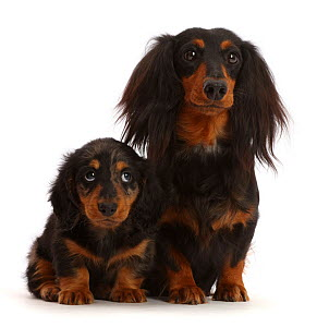 RF - Long haired Dachshund bitch and puppy, age 7 weeks.  (This image may be licensed either as rights managed or royalty free.)  -  Mark Taylor