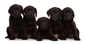 RF - Five Black Labrador Retriever puppies, age 6 weeks.  (This image may be licensed either as rights managed or royalty free.)  -  Mark Taylor