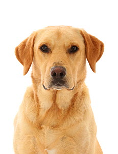 RF - Yellow Labrador Retriever dog.  (This image may be licensed either as rights managed or royalty free.)  -  Mark Taylor