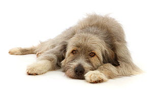 RF - Romanian rescue dog, lying chin on floor.  (This image may be licensed either as rights managed or royalty free.)  -  Mark Taylor