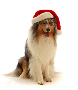 RF - Rough Collie wearing a Father Christmas hat.  (This image may be licensed either as rights managed or royalty free.)  -  Mark Taylor