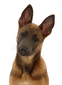 RF - Fawn and blue Belgian Shepherd Dog (Malinois) pup, age 12 weeks.  (This image may be licensed either as rights managed or royalty free.)  -  Mark Taylor