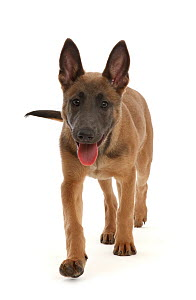 RF - Fawn and blue Belgian Shepherd Dog (Malinois) pup, age 12 weeks, walking.  (This image may be licensed either as rights managed or royalty free.)  -  Mark Taylor