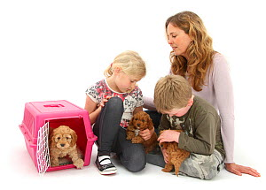 RF - Family with Cockapoo puppies, age 7 weeks.  (This image may be licensed either as rights managed or royalty free.) Model released  -  Mark Taylor