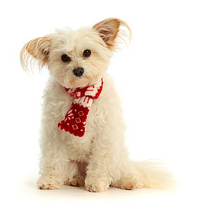 RF - Pomapoo,  wearing a red-and-white scarf.  (This image may be licensed either as rights managed or royalty free.)  -  Mark Taylor