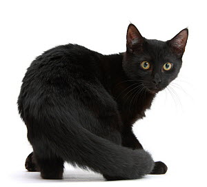 RF - Black male cat, age 6 months, turning to look round.  (This image may be licensed either as rights managed or royalty free.)  -  Mark Taylor