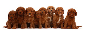 RF - Eight Cockapoo puppies, age  6 weeks, sitting in a row.  (This image may be licensed either as rights managed or royalty free.)  -  Mark Taylor