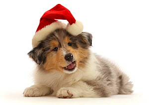 RF - Rough Collie puppy, wearing a Father Christmas hat.  (This image may be licensed either as rights managed or royalty free.)  -  Mark Taylor