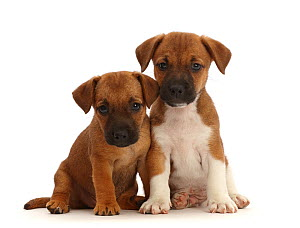RF - Two Jack Russell x Border Terrier puppies, sitting. (This image may be licensed either as rights managed or royalty free.)  -  Mark Taylor