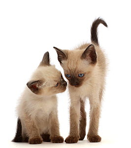 RF - Two Siamese x Ragdoll kittens, age 7 weeks.  (This image may be licensed either as rights managed or royalty free.)  -  Mark Taylor