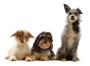 RF - Three mongrel dogs, sitting. (This image may be licensed either as rights managed or royalty free.)  -  Mark Taylor