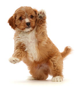 RF - Red Cavapoo dog puppy, age 8 weeks, jumping up and waving.  (This image may be licensed either as rights managed or royalty free.)  -  Mark Taylor