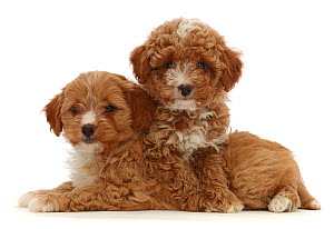 RF - Two red Cavapoo dog puppies, age 8 weeks, lying down. (This image may be licensed either as rights managed or royalty free.)  -  Mark Taylor