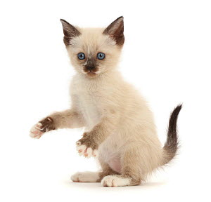 RF - Siamese x Ragdoll kitten, age 7 weeks, playfully grasping.  (This image may be licensed either as rights managed or royalty free.)  -  Mark Taylor