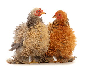 RF - Buff and cream frizzle bantam chickens, age 15 weeks.  (This image may be licensed either as rights managed or royalty free.)  -  Mark Taylor