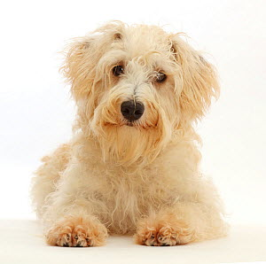RF - Cream coloured Schnoodle (Miniature Schnauzer x Poodle), age 7 months, lying with head up.  (This image may be licensed either as rights managed or royalty free.)  -  Mark Taylor