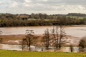 River Lugg and flood damaged winter wheat or barley crop, Herefordshre, England, March 2020.  -  Will Watson