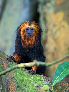 Golden-headed lion tamarin (Leontopithecus chrysomelas) portrait, coastal rainforest, Mata Atlantica, Bahia, Brazil.  -  Konrad Wothe
