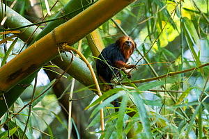 Golden-headed lion tamarin (Leontopithecus chrysomelas) siting in Bamboo, Mata Atlantica, Bahia, Brazil.  -  Konrad Wothe