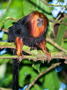 Golden-headed lion tamarin (Leontopithecus chrysomelas) coastal rainforest, Mata Atlantica, Bahia, Brazil.  -  Konrad Wothe