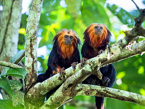 Two Golden-headed lion tamarin (Leontopithecus chrysomelas) in tree, coastal rainforest, Mata Atlantica, Bahia, Brazil.  -  Konrad Wothe