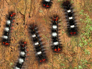 Caterpillars (Erebidae) on a tree bark in rainforest near Manaus, Amazon Basin, Brazil.  -  Konrad Wothe