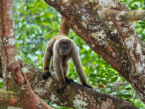 Grey woolly monkey (Lagothrix cana) with baby, rainforest, Amazon, Brazil.  -  Konrad Wothe