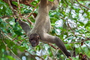 Grey woolly monkey (Lagothrix cana) hanging upside down with baby, rainforest, Amazon, Brazil.  -  Konrad Wothe