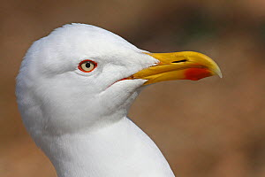 Portrait of Yellow legged gull (Larus michaellis) Porquerolles island, Var, Provence,France, April  -  Pascal Pittorino