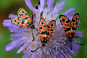 Three Auspicious Burnet (Zygaena fausta) feeding on Devils-bit scabious (Succisa pratensis) Grands Causses Regional Natural Park, Lozere, France, September  -  Pascal Pittorino