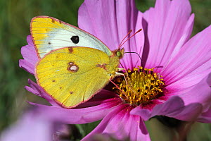 Clouded yellow butterfly (Colias croceus) feeding on a cosmos flower (Cosmos bipinnatus) in a garden, Grands Causses Regional Natural Park, Lozere, France, October  -  Pascal Pittorino