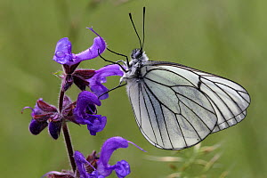 Black veined white butterfly (Aporia crataegi) on a Meadow clary flower (Salvia pratensis), Grands Causses Regional Natural Park, Lozere, France, July  -  Pascal Pittorino