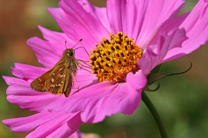Silver-spotted skipper butterfly (Hesperia comma) female feeding on a cosmos flower (Cosmos bipinnatus) in a garden, Grands Causses Regional Natural Park, Lozere, France, August  -  Pascal Pittorino