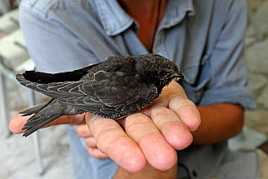 Man holding Common swift (Apus apus) juvenile, Grands Causses Regional Natural Park, Lozere, France, July  -  Pascal Pittorino