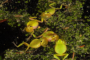 Five Mediterranean tree frogs (Hyla meridionalis) with inflated vocal sacs calling at night in a pond, Provence, Var, France, December  -  Pascal Pittorino