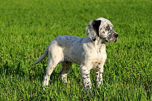 English setter puppy, standing in field, Grands Causses Regional Natural Park, Lozere, France, June  -  Pascal Pittorino