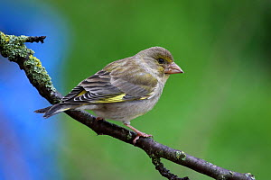European greenfinch (Carduelis chloris) female, perched on tree branch, Grands Causses Regional Natural Park, Lozere, France, May  -  Pascal Pittorino