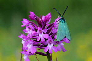 Common forester moth (Adscita statices) on Pyramidal Orchid (Anacamptis pyramidalis) Grands Causses Regional Natural Park, Lozere, France, June  -  Pascal Pittorino
