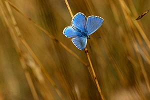 Adonis blue butterfly (Lysandra bellargus) male basking with wings open, Grands Causses Regional Natural Park, Lozere, France, April  -  Pascal Pittorino