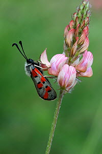 Burnet moth (Zygaena rhadamanthus) on Sainfoin flower (Onobrychis viciifolia) Grands Causses Regional Natural Park, Lozere, France, June  -  Pascal Pittorino
