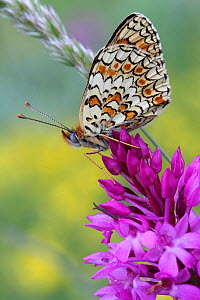 Spotted fritillary butterfly (Melitea didyma) on Pyramidal orchid (Anacamptis pyramidal) Grands Causses Regional Natural Park, Lozere, France, June  -  Pascal Pittorino
