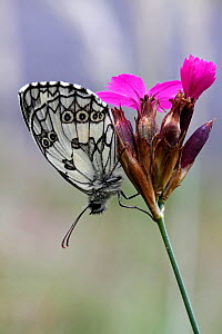 Marbled white butterfly (Melanargia galathea) resting on Wood pink (Dianthus sylvestris) flower, Grands Causses Regional Natural Park, Lozere, France, July  -  Pascal Pittorino