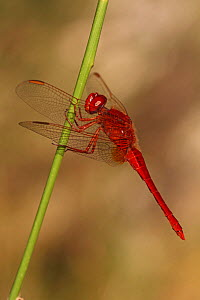 Ruddy darter dragonfly (Sympetrul sanguineum) on a twig, Var, France, July  -  Pascal Pittorino