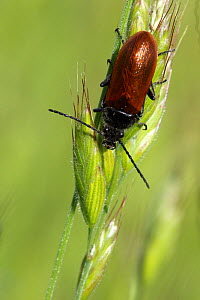 Orange omophlus (Omophlus lepturoides) on ear of wheat, Grands Causses Regional Natural Park, Lozere, France, May  -  Pascal Pittorino